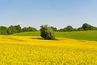 Rapsfeld am Rande des Naturschutzgebiet Grumsiner Forst, Altkünkendorf bei Angermünde, Brandenburg, Deutschland