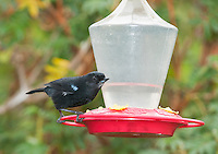 Glossy flowerpiercer, Diglossa lafresnayii, perched on a feeder at Yanacocha Reserve, Ecuador
