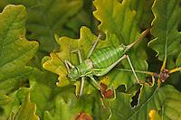 Steppen-Sattelschrecke, Weibchen, Steppensattelschrecke, Ephippiger ephippiger, Ephippigera ephippiger, Ephippigera vitium, European bushcricket, Long horned grasshopper, female, Tettigoniidae