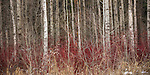 Idaho,North, Athol. The white bark of leafless aspen trees rise from red and yellow winter foliage and contrast against the shadowy forest background.