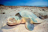 Kemp's ridley sea turtle, Lepidochelys kempii (endangered) laying eggs on beach, Rancho Nuevo, Mexico (Gulf of Mexico), Atlantic Ocean