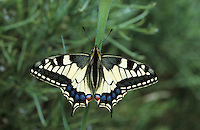 Schwalbenschwanz, Schwalben-Schwanz, Papilio machaon, Old World Swallowtail, common yellow swallowtail, swallowtail