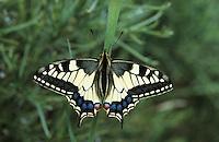 Schwalbenschwanz, Schwalben-Schwanz, Papilio machaon, Old World Swallowtail, common yellow swallowtail, swallowtail