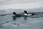 Barrow's Goldeneye pair swimming