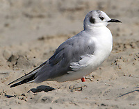 Adult Bonaparte's gull in nonbreeding plumage