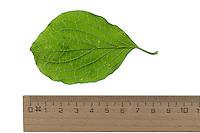 Blutroter Hartriegel, Cornus sanguinea, Common Dogwood, Dogberry, Cornouiller sanguin. Blatt, Blätter, leaf, leaves