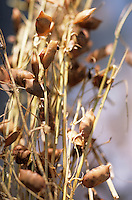 Europe/France/Auvergne/43/Haute-Loire/Env du Puy-en-Velay: Lentilles vertes séchées du Puy-en-Velay //  France, Haute Loire,  near Le Puy en Velay, Green AOC  dried lentils du Puy en Velay