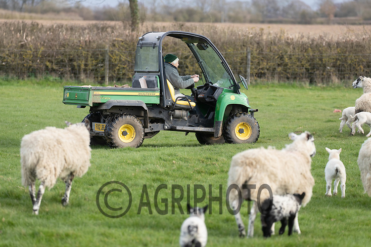 25-3--2021 Shepherdess using an ATV to check on ewes and lambs <br /> ©Tim Scrivener Photographer 07850 303986<br />      ....Covering Agriculture In The UK....