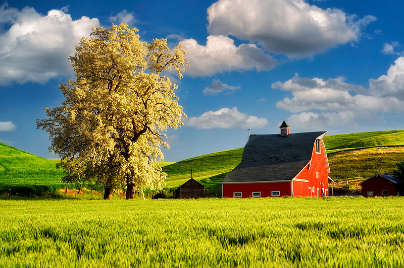 Red barn and blooming tree with rolling hills of  wheat. The Palouse near Colfax, Washington