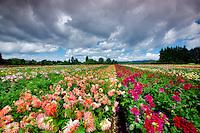 Dahlia field and clouds. Swan Island Dahlia Farm. Oregon
