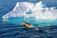 killer whale or orca, Orcinus orca, Type B orca, and iceberg, Paradise Bay, Antarctica, Southern Ocean
