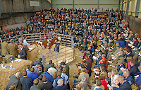 On farm dairy cow sale.