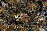 Surrounded by her court, a queen is laying eggs on the brood.///Une reine sur le couvain entourée de sa cours en train de pondre.