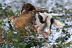 Pix: Shaun Flannery/shaunflanneryphotography.com...COPYRIGHT PICTURE>>SHAUN FLANNERY>01302-570814>>07778315553>>..19th December 2009................Brodsworth Shoot..Springer Spaniel retrieves a bird.