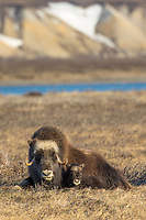 Muskox cow and calf of the year on the tundra of the Arctic North Slope, Alaska.