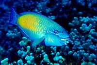 The Bullethead Parrotfish(Scarus sordidus)male,is a regular sight on Hawaii's coral reefs. Hawaiian name is Uhu.