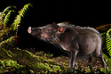 Bearded Pig (Sus barbatus) foraging for food at night, Maliau Basin, Sabah, Borneo, Malaysia.