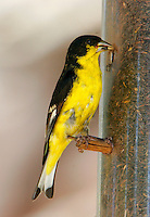 Adult male Texas-form lesser goldfinch at feeder in Fort Davis, TX