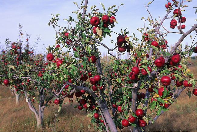 MEXICO, CHIHUAHUA, NEAR GUERRERO, APPLE ORCHARD, RED DELICIOUS APPLES, AGRICULTURAL AREA