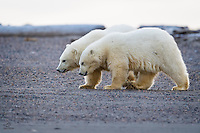 We saw these two Polar Bear cubs, born earlier in the year, over several days.  They were inseparable.  Most of the time they were scuffling with each other.  Sometimes they nursed on their mom together.  Often they played together.  We enjoyed the opportunity to get a glimpse into their lives.  Kaktovik, Alaska