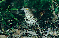 Brown Thrasher, Toxostoma rufum, adult, High Island, Texas, USA, May 2001