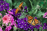 Monarch Butterfly (Danaus plexippus) in foreground and Eastern Comma Butterfly (Polygonia comma) in background among Flax flowers (Linum perenne) and pink Garden Phlox (Phlox paniculata). Summer. Nova Scotia, Canada.