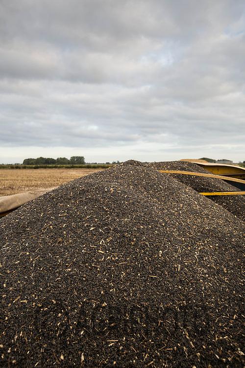 Harvested sunflower seeds for bird food<br /> Picture Tim Scrivener 07850 303986