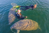 Florida manatee, Trichechus manatus latirostris, a subspecies of West Indian manatee, mother and calf, chewing, flossing with anchor rope, and snorkelers, harassing manatees, Three Sisters Springs, Crystal River National Wildlife Refuge, Kings Bay, Crystal River, Florida, USA