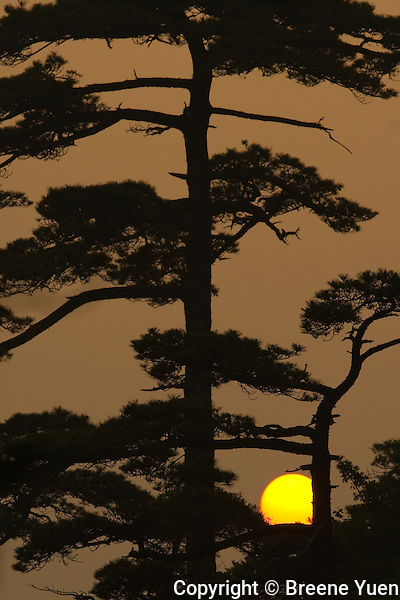 The sun sets behind one of Huangshan's Pine Trees, China, May 2007