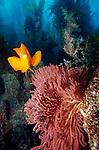 Catalina Island, Channel Islands, California; Garibaldi (Hypsypops rubicundus) and Red Gorgonian (Lophogorgia chilensis) , Copyright © Matthew Meier, matthewmeierphoto.com All Rights Reserved
