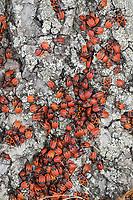 Gemeine Feuerwanze, Feuerwanze, Feuerwanzen, Adulte und Larve, Larven, Nymphe, Nymphen, Feuer-Wanze, Pyrrhocoris apterus, firebug, firebugs, larva, larvae, nymph, nymphs, Le gendarme, le pyrrhocore, am Stamm einer Linde