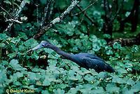 HN06-004z   Little Blue Heron - Louisiana - Egretta caerulea