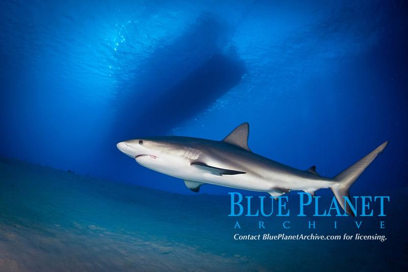 Caribbean reef shark, Carcharhinus perezii, Turks and Caicos, Atlantic Ocean