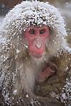 Jigokudani National Monkey Park, Nagano, Japan<br /> Japanese Snow Monkeys (Macaca fuscata) at Jigokudani monkey park in the Yokoyu River valley, snow covered mother with young monkey