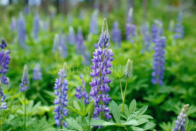 Lupine Wildflowers in Montana