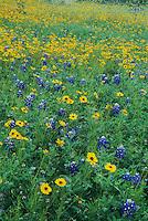 Texas Bluebonnet Greenthread and Parralena, San Antonio, Bexar County ,Texas, USA