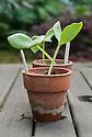 Young pot-grown seedlings of 'Red Kuri' squash.