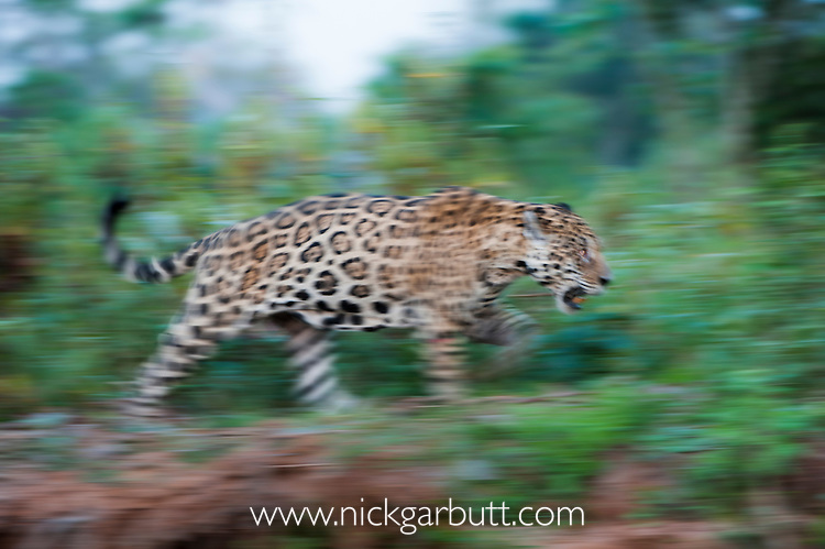 Male Jaguar (Panthera onca palustris) walking along the bank of the Tres Irmãos River (Three Brothers River), a tributary of the Cuiaba River. Near Porto Jofre, northern Pantanal, Mato Grosso State, Brazil.