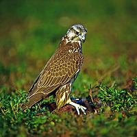 Würgfalke, Sakerfalke, mit Beute, erbeutetem Fasan, Würg-Falke, Saker-Falke, Saker, Falke, Falken, Falco cherrug, Hierofalco altaicus, saker falcon, Le Faucon sacre