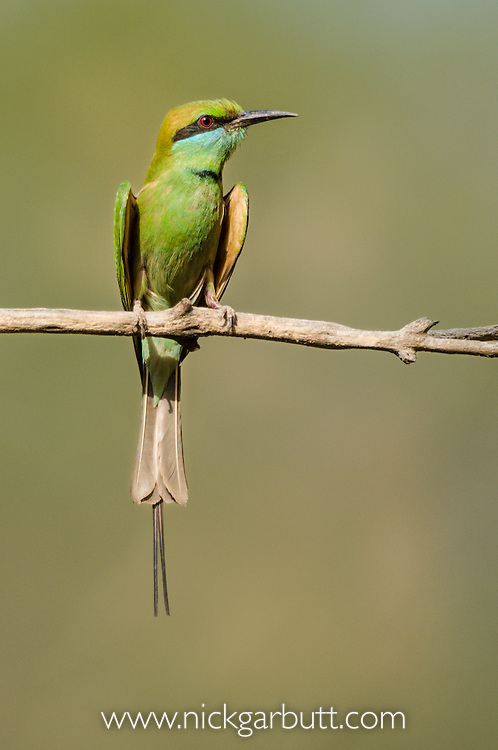 Green Bee-eater (Merops orientalis) sunbathing. Satpura National Park, India.