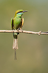Green Bee-eater (Merops orientalis) sunbathing. Satpura National Park, India.