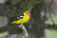 Western Tanager (Piranga ludoviciana), adult male singing, Rocky Mountain National Park, Colorado, USA