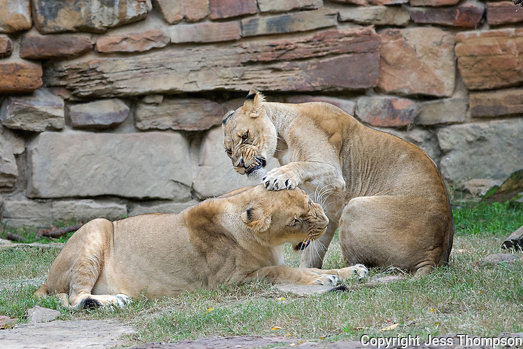 Lions, Fort Worth Zoo