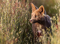 """The main reason I had to get back to see the foxes this year was the presence of a """"cinnamon"""" phase red fox kit. When I was first told of the foxes here, I was sent a picture of a brown fox… but I'd never seen one until this trip."""