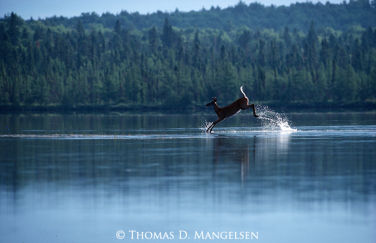 A white-tailed deer leaps across a shallow lake in Grand Lake Sebois, Maine.
