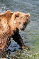 A brown bear is on the watch for competing bears at the McNeil River Falls,  in Alaska's McNeil River State Game Sanctuary.
