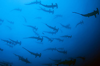 Scalloped Hammerheads Sphyrna lewini schooling in Cocos Island, a UNESCO World Heritage Site located 330 miles offshore Costa Rica in the Pacific Ocean