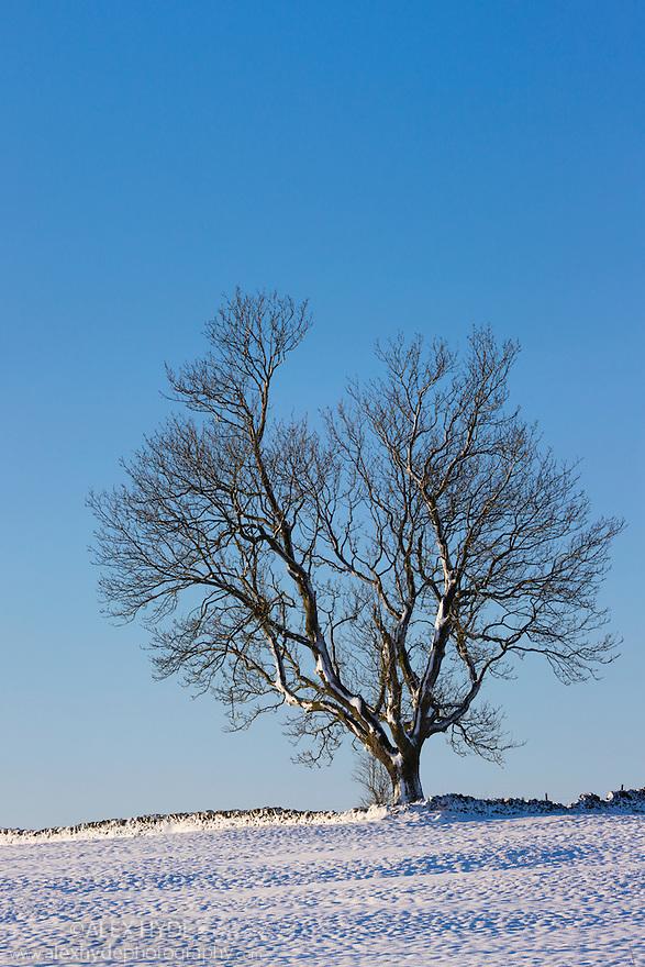 Ash tree in winter {Fraxinus excelsior} near Bonsall village, Peak District National Park, Derbyshire, UK. December.