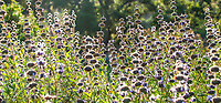 Salvia 'Bee's Bliss' Sage, flowering perennial in California native plant, Santa Barbara Botanic Garden