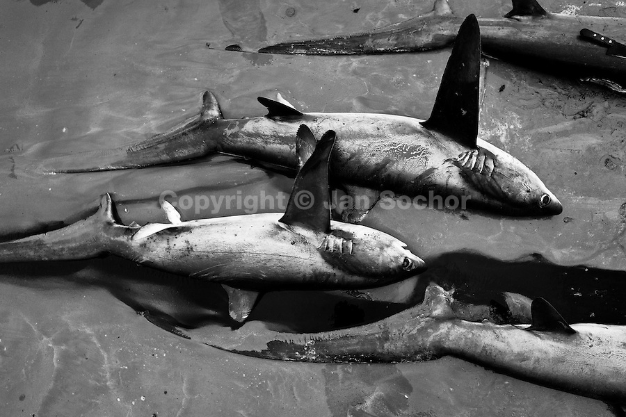 Dead thresher sharks lie in the pool of blood on the beach of Puerto Lopez, Ecuador, 6 April 2012. Every morning, hundreds of shark bodies and thousands of shark fins are sold on the Pacific coast of Ecuador. Although the targeted shark fishing remains illegal, the presidential decree allows free trade of shark fins from accidental by-catch. However, most of the shark species fished in Ecuadorean waters are considered as ?vulnerable to extinction? by the World Conservation Union (IUCN). Although fishing sharks barely sustain the livelihoods of many poor fishermen on Ecuadorean at the end of the shark fins business chain in Hong Kong they are sold as the most expensive seafood item in the world. The shark fins are primarily exported to China where the shark's fin soup is believed to boost sexual potency and increase vitality. Rapid economic growth across Asia in recent years has dramatically increased demand for the shark fins and has put many shark species populations on the road to extinction.